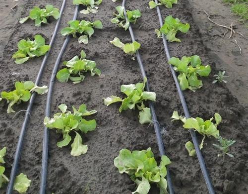 Figuur 4: Pilootproeven bij groenten op het PCG
